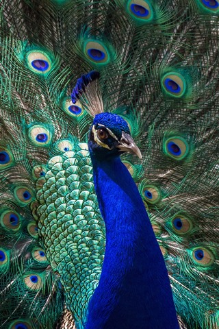 iPhone Wallpaper Peacock open tail, beautiful feathers, bird