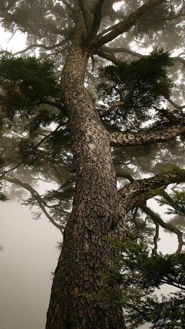 Pine trees trunk fog morning 640x1136 iphone 5 5s 5c se - Pine tree wallpaper iphone ...
