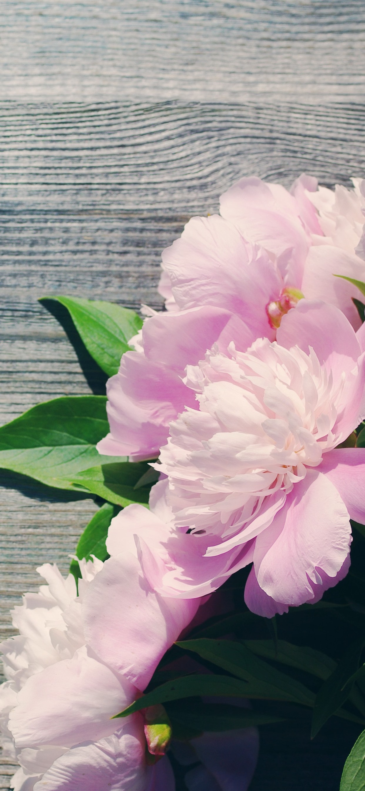 Pink Peonies Flowers 1242x2688 Iphone Xs Max Wallpaper Background