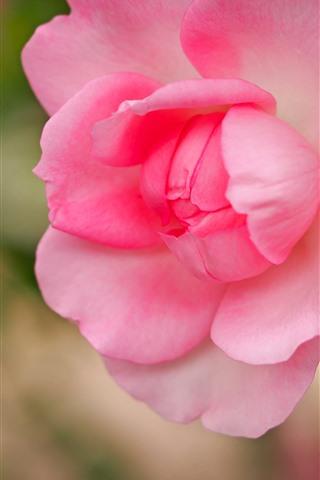 iPhoneの壁紙 ピンクのバラのクローズアップ、花びら、ぼんやりした