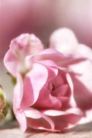 iPhone Wallpaper Pink roses, flower bud, bright