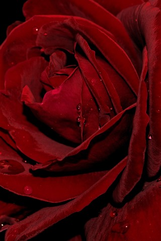 iPhone Wallpaper Red rose macro photography, petals, water droplets