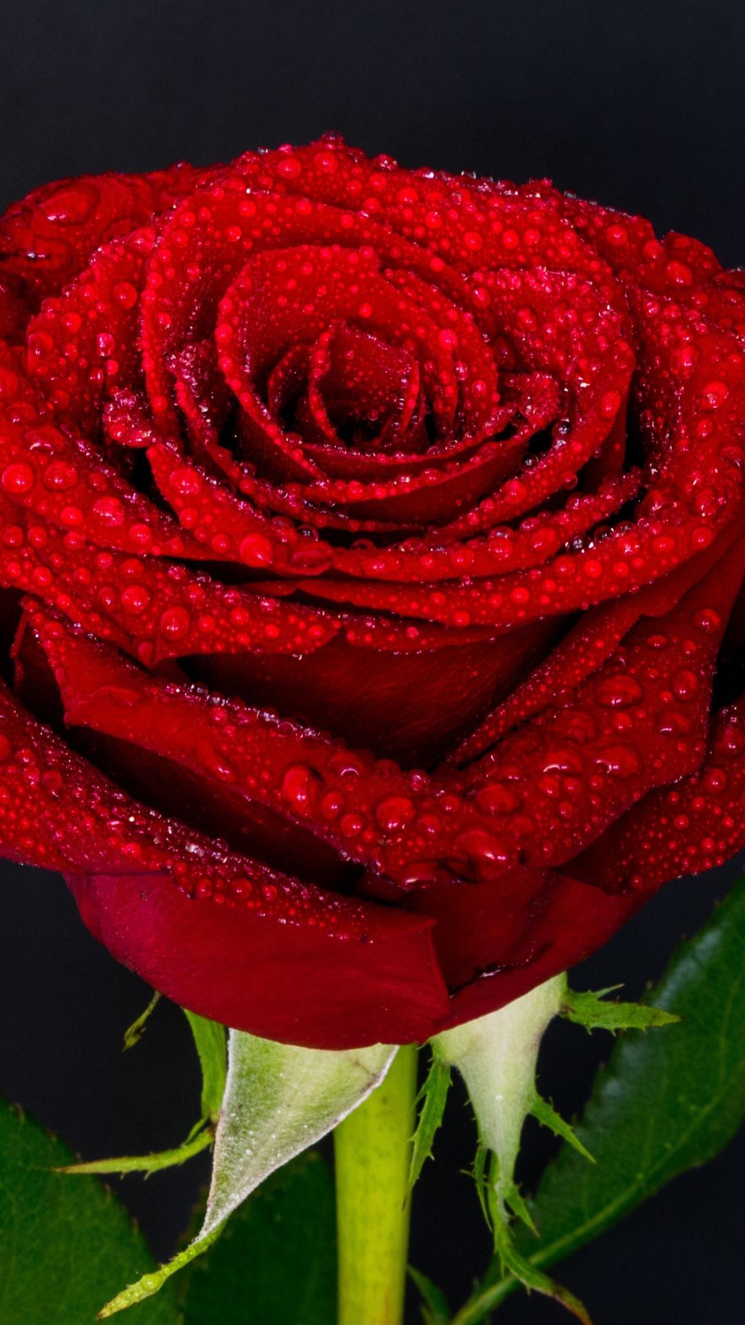 Wallpaper red rose petals water droplets 3840x2160 uhd - Red rose petals wallpaper ...