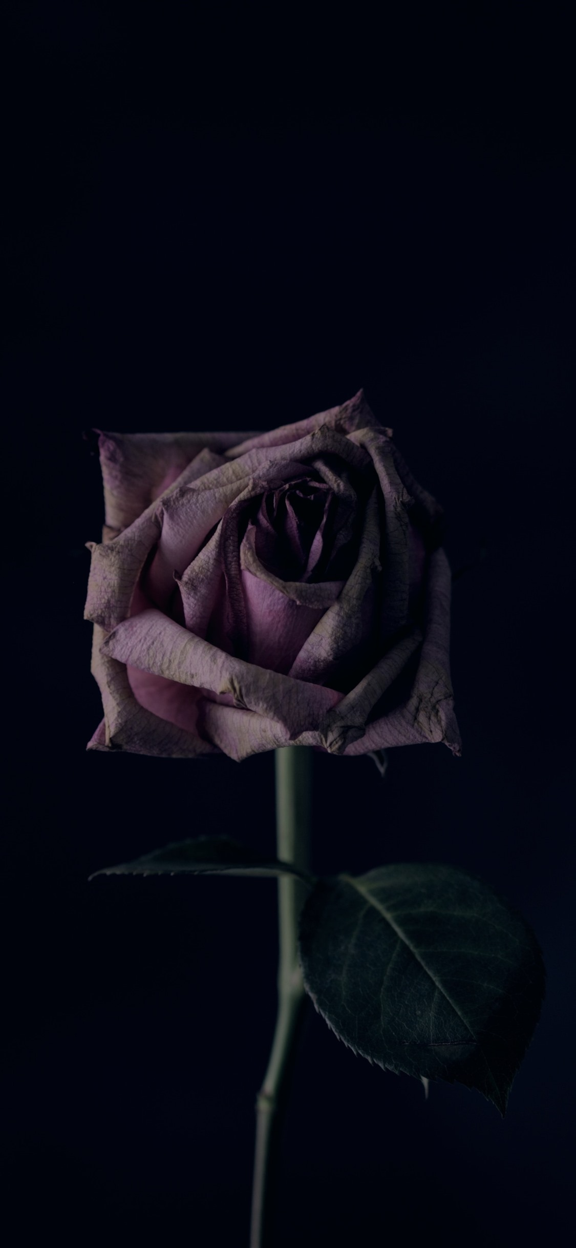 Rose Darkness 1242x2688 Iphone 11 Pro Xs Max Wallpaper Background Picture Image