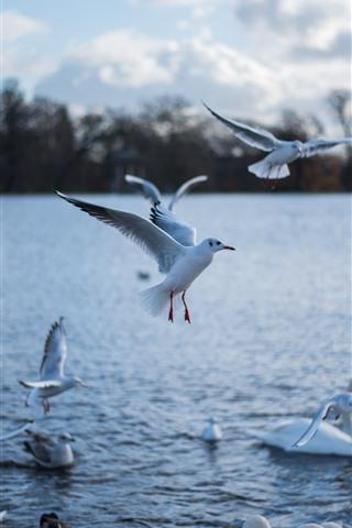 iPhone Wallpaper Seagulls and white swan, lake