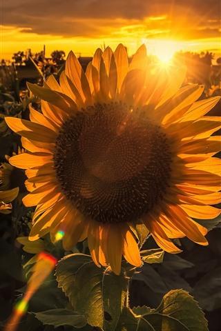iPhone Wallpaper Sunflowers, sunset, backlight