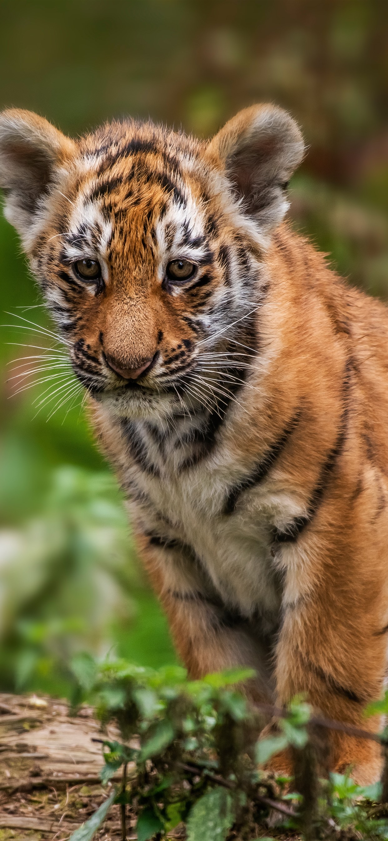 Tiger Cub Look Wildlife 1242x2688 Iphone 11 Pro Xs Max Wallpaper Background Picture Image
