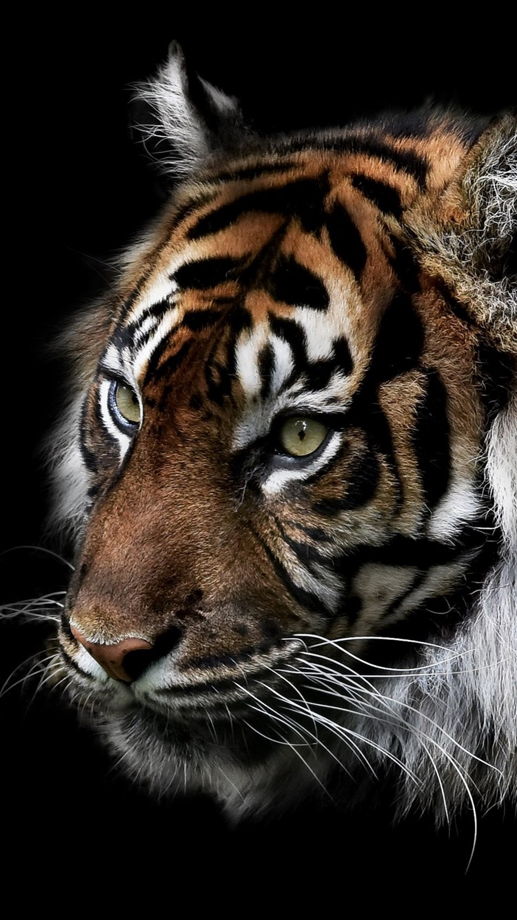 Tiger Face Darkness 750x1334 Iphone 8 7 6 6s Wallpaper