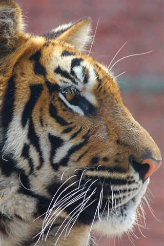 iPhone Wallpaper Tiger, face, side view, wildlife