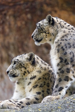 iPhone Wallpaper Two snow leopards, rest