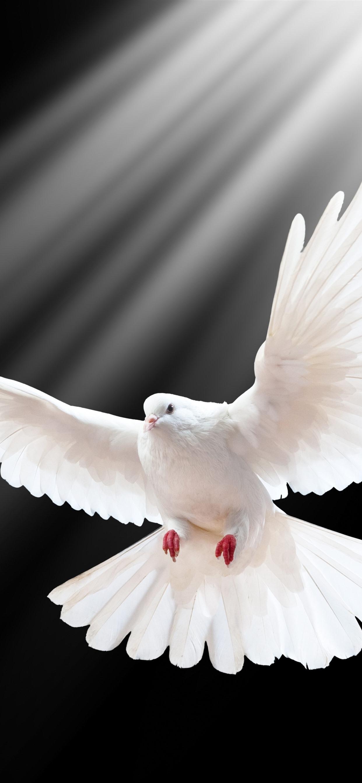 Wallpaper White Dove Flight Wings Black Background
