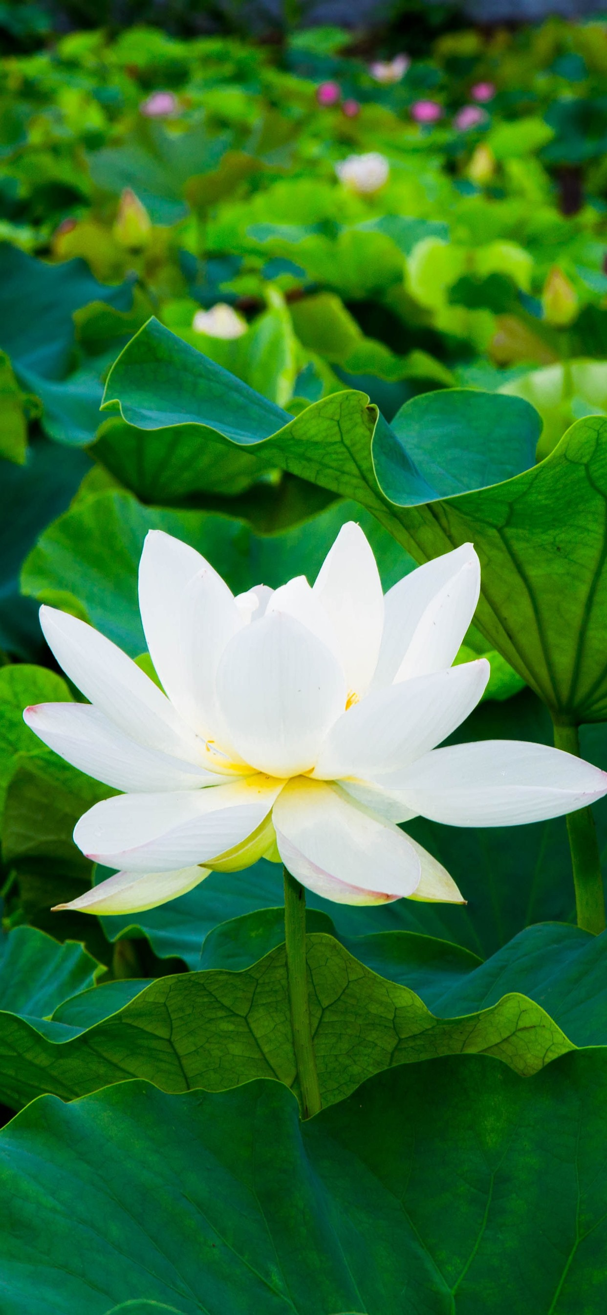 White Lotus Green Leaves Flowers 1242x2688 Iphone Xs Max Wallpaper
