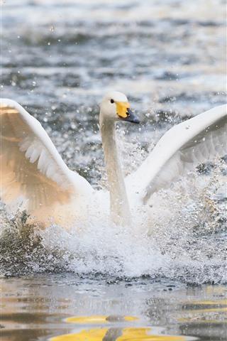 iPhone Wallpaper White swan open wings, water splash, lake