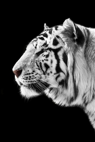 Wallpaper White Tiger Side View Black Background 2880x1800 Hd Picture Image