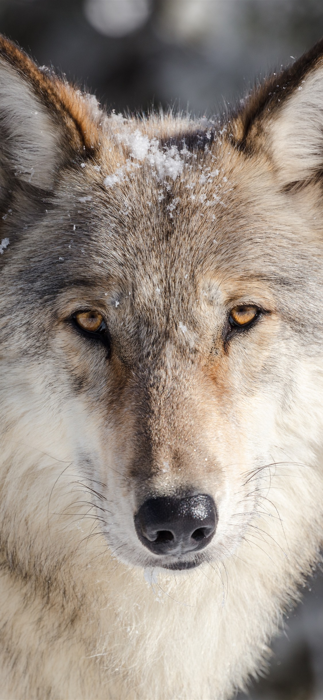 Wallpaper Wolf look, front view, face, snow 7680x4320 UHD ...