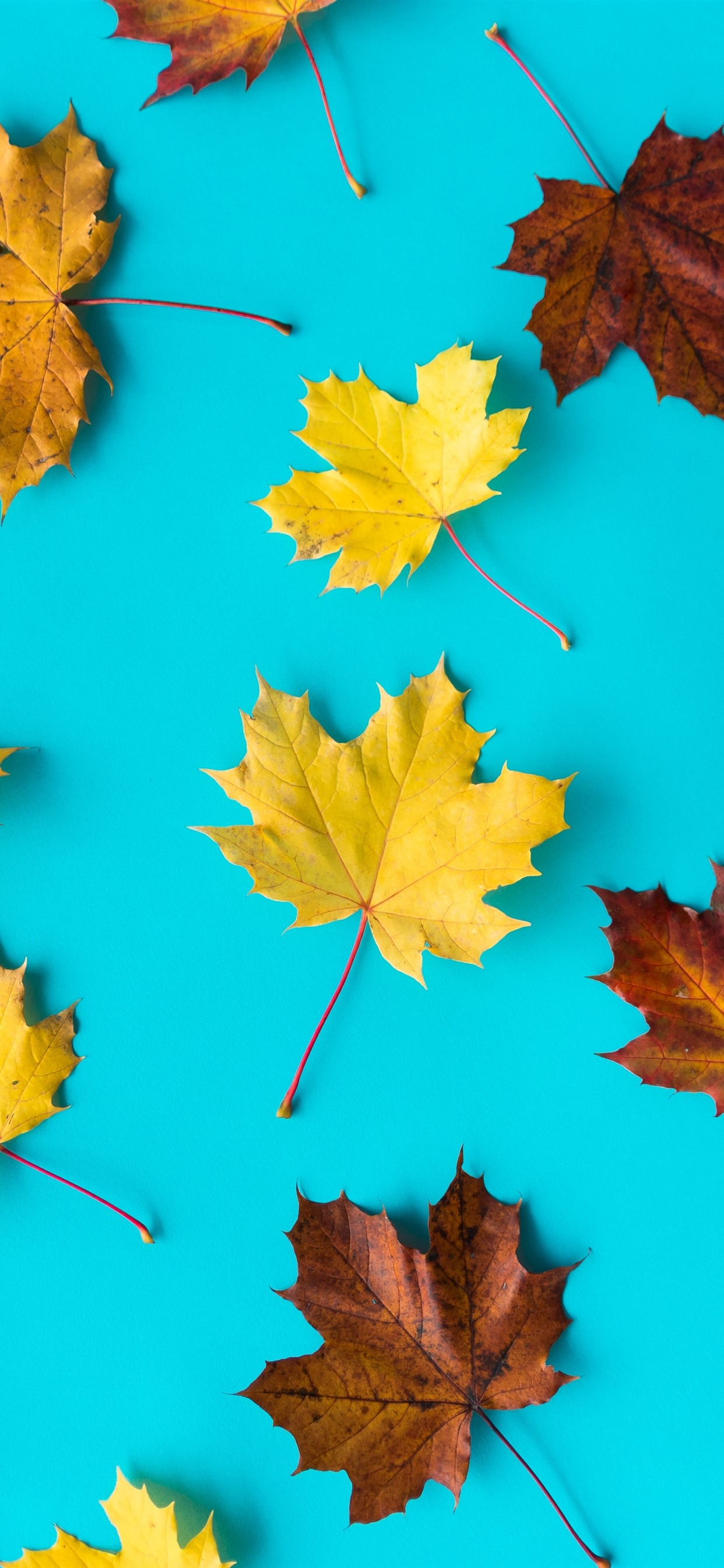 Wallpaper Yellow And Brown Maple Leaves Blue Background