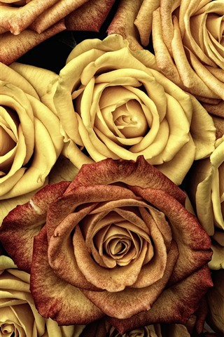 iPhone Wallpaper Yellow roses, many flowers