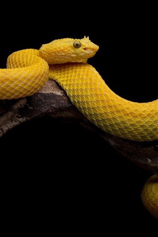 Yellow Snake Scales Black Background 640x960 Iphone 44s
