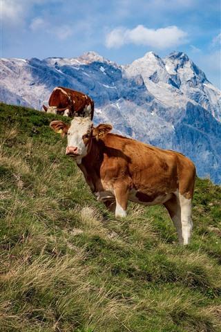iPhone Wallpaper Austria, cows, mountains, grass, slope