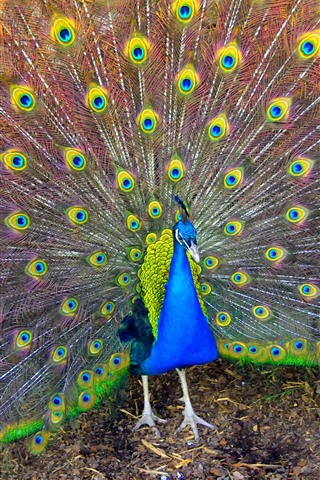 iPhone Wallpaper Beautiful bird, peacock, tail, feathers