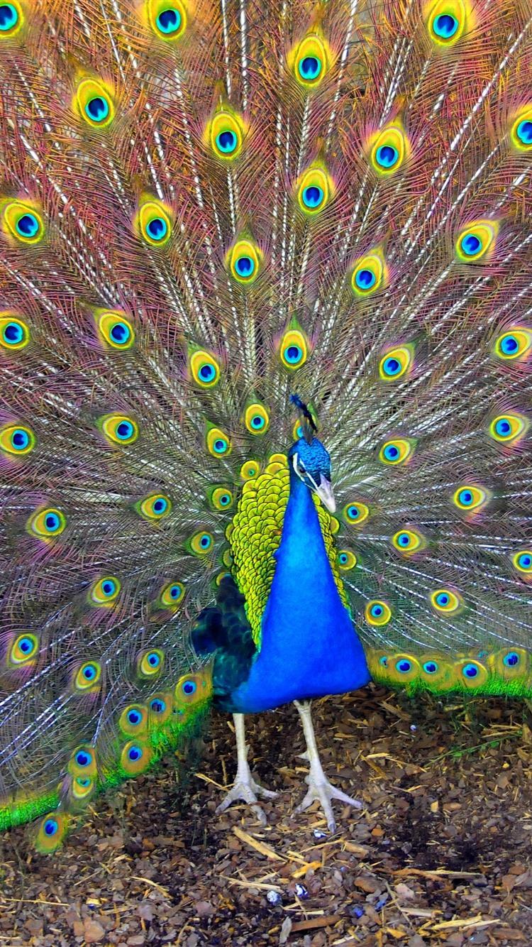 Wallpaper beautiful bird peacock tail feathers 3840x2160 uhd 4k picture image - Beautiful peacock feather ...