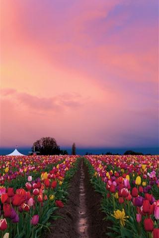 iPhone Fondos de pantalla Hermosos campos de tulipanes, coloridas flores, atardecer.