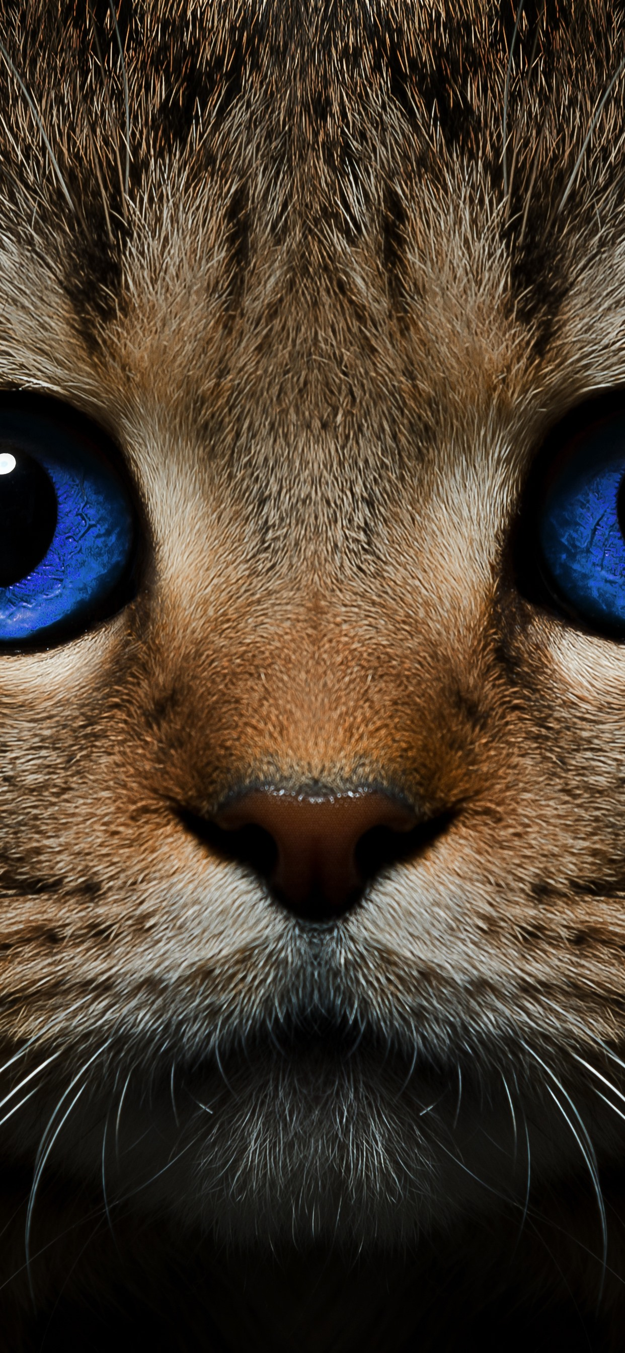 Blue Eyes Cat Front View Face 1242x2688 Iphone Xs Max