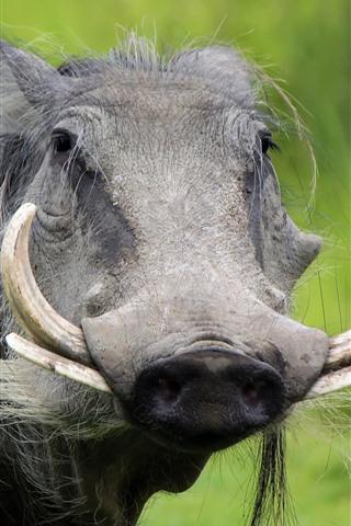 iPhone Wallpaper Boar, teeth, wildlife