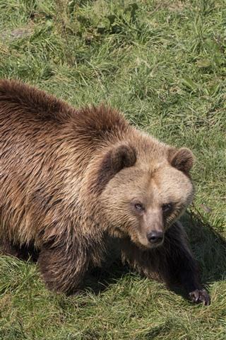 iPhone Wallpaper Brown bear, wet, grass