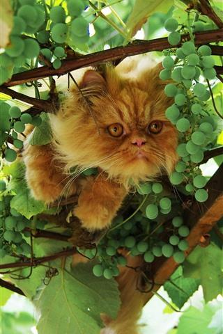 iPhone Fondos de pantalla Gato y uvas verdes, hojas.
