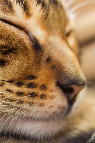 iPhone Wallpaper Cat sleeping, face, whisker