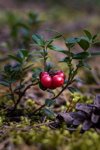 iPhone Wallpaper Cranberries, red berries, plants