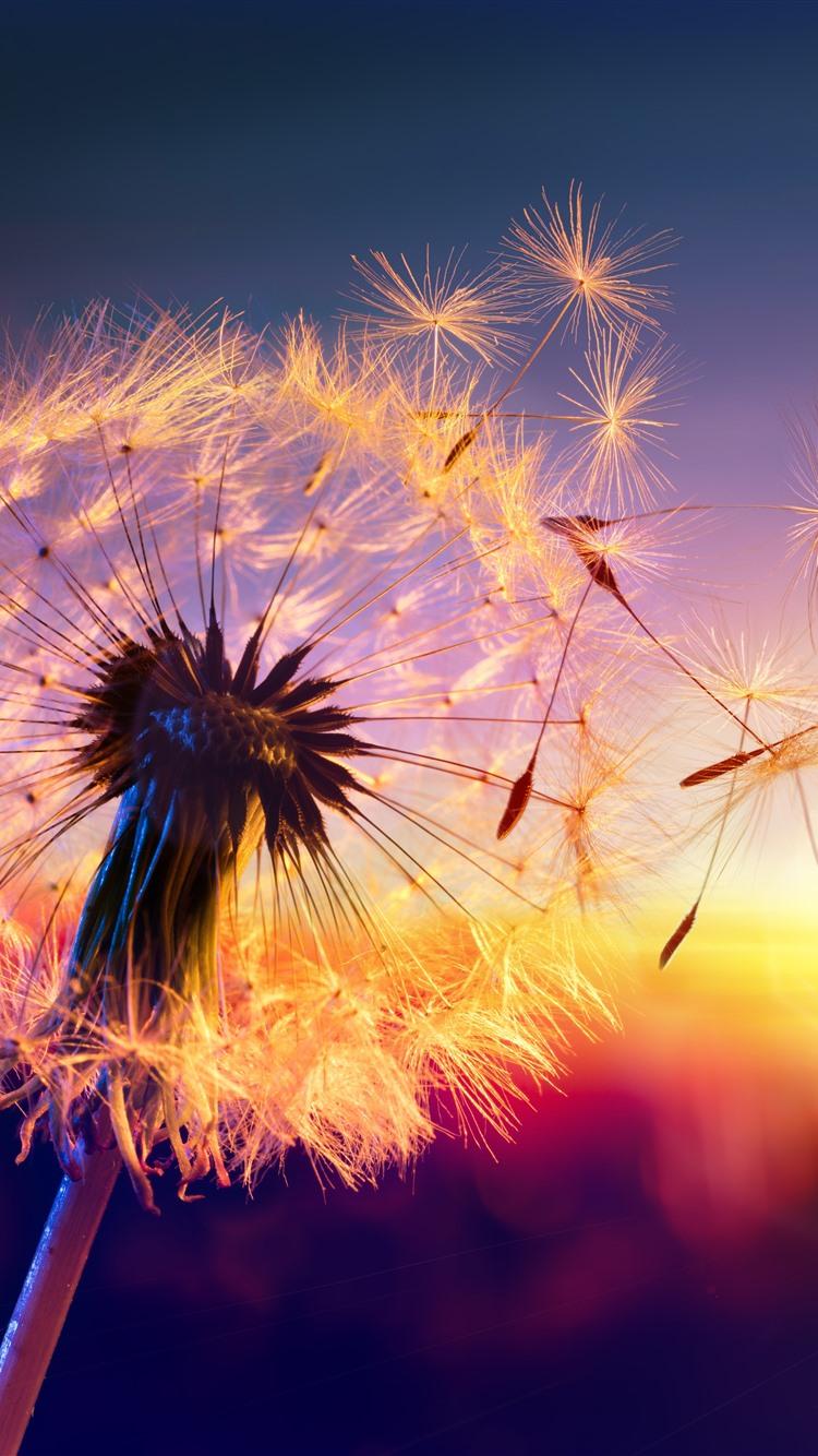 Wallpaper Dandelion Seeds Wind Sunset Beautiful Nature