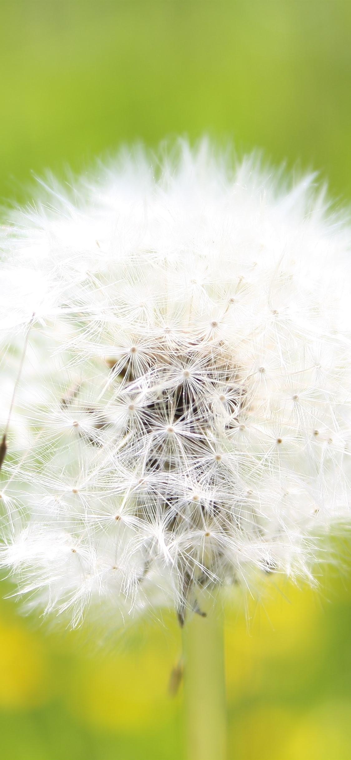 Dandelion White Flower Close Up Seeds Wind 1125x2436
