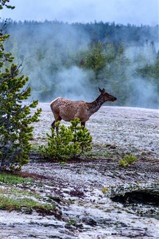 iPhone Fondos de pantalla Ciervos, árboles, niebla, Parque Nacional de Yellowstone, EE.UU.