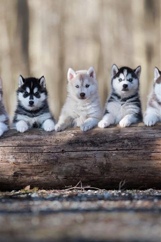 iPhone Papéis de Parede Cinco cachorrinhos husky