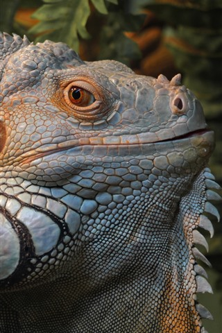 iPhone Wallpaper Iguana, lizard, head, eyes
