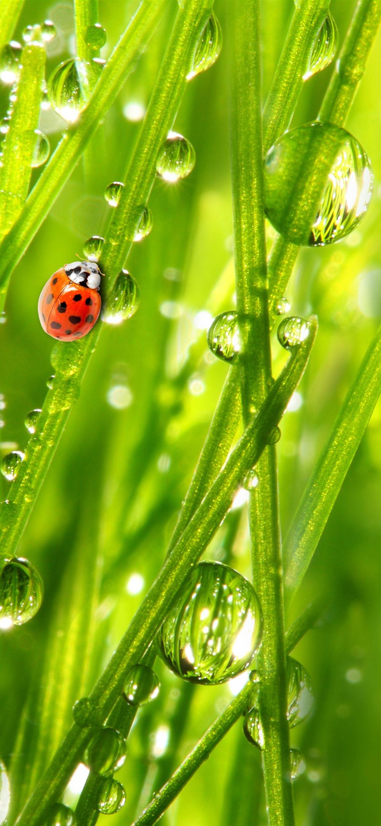 Ladybug Green Grass Water Droplets 1242x2688 Iphone Xs Max
