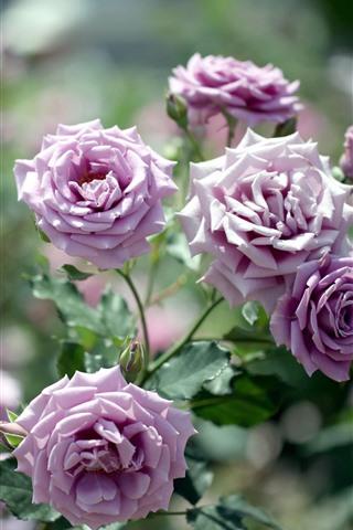 iPhone Fondos de pantalla Rosas de color púrpura claro, brillantes