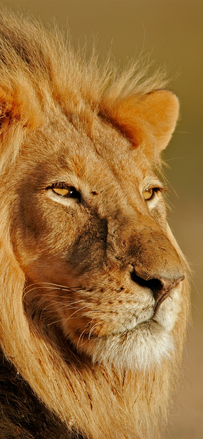 Lion Look Wildlife Sunshine 1242x2688 Iphone 11 Pro Xs Max Wallpaper Background Picture Image