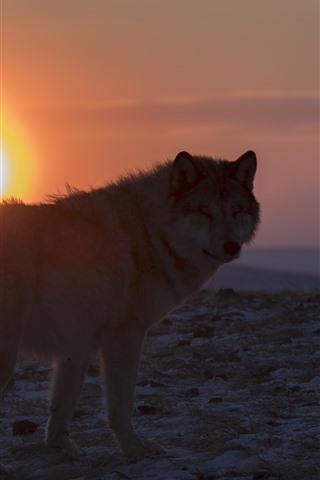 iPhone Fondos de pantalla Lobo solitario mira hacia atrás, puesta de sol