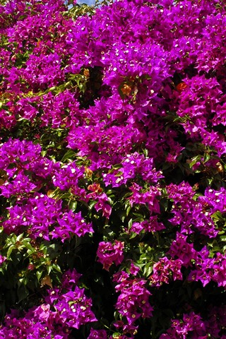 iPhone Wallpaper Many purple bougainvillea flowers blossom, spring