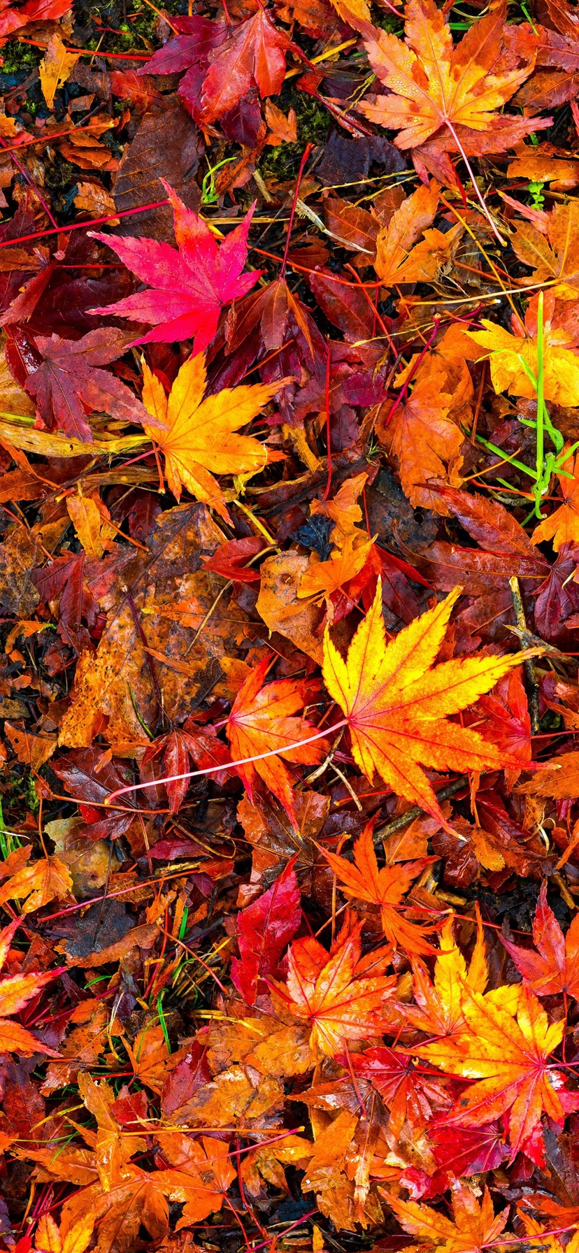 Many Red Maple Leaves Ground Autumn 1242x2688 Iphone 11 Pro Xs Max Wallpaper Background Picture Image