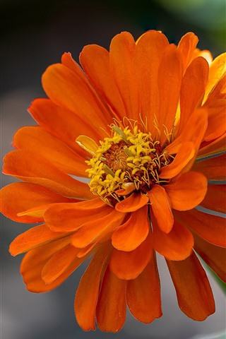 iPhone Fondos de pantalla Pétalos de naranja flor, Zinnia