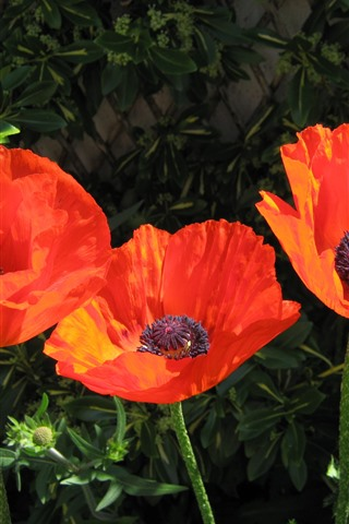 iPhone Fondos de pantalla Amapolas anaranjadas, flores, tallo, resorte