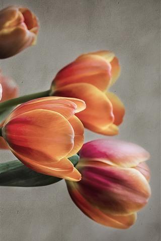 iPhone Fondos de pantalla Tulipanes de naranja, de pared