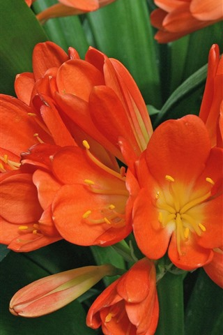 iPhone Wallpaper Orchid, orange flowers