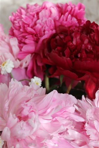 iPhone Wallpaper Pink and red peonies flowers, petals