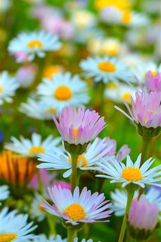 iPhone Fondos de pantalla Manzanilla rosa y blanca, flores, primavera