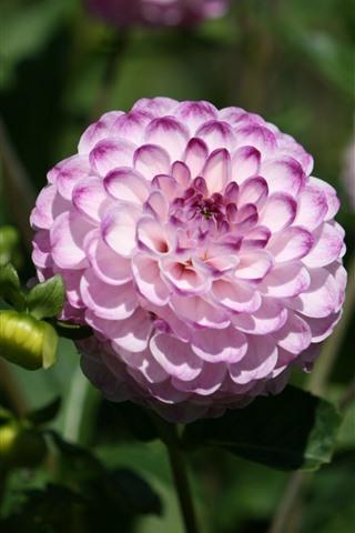 iPhone Fondos de pantalla Rosa pétalos blancos dalia, jardín.